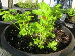 parsley 18 April 2013
