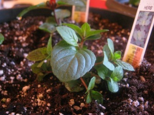 ginger mint  6 April 2013